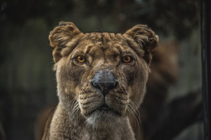 Staring Lioness