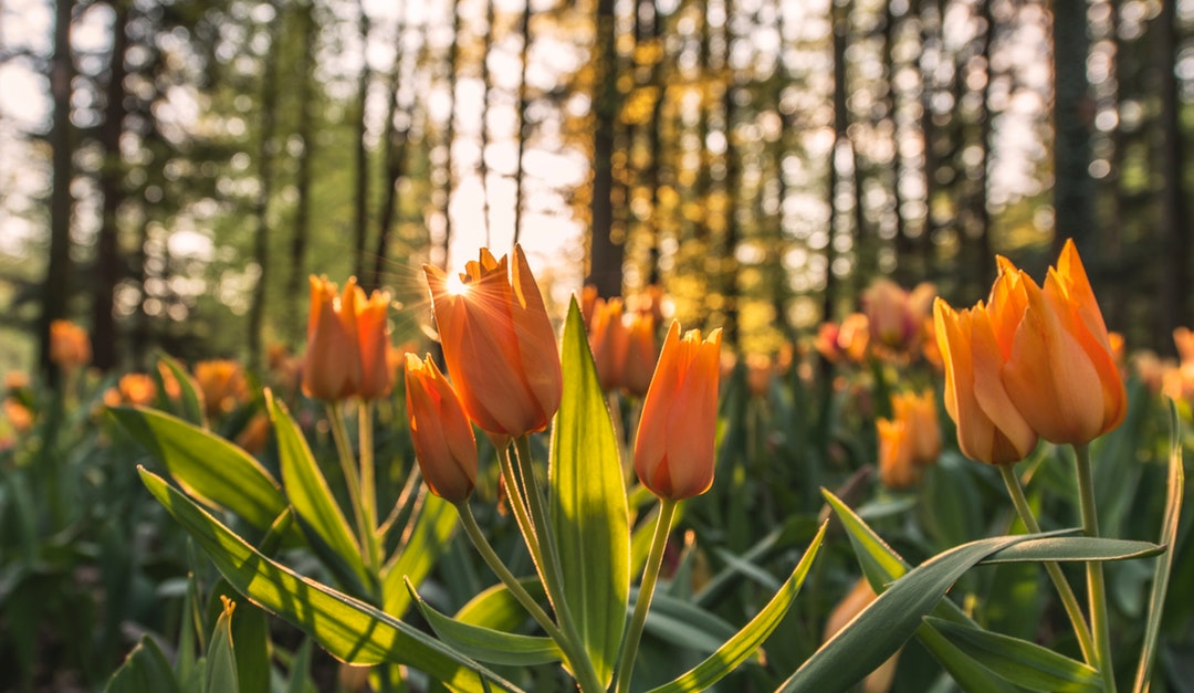 Tulips by Sunset