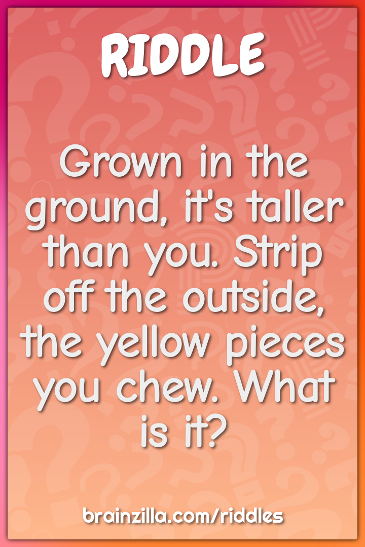 Grown in the ground, it's taller than you. Strip off the outside, the...